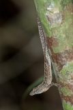 Brown Anole 024