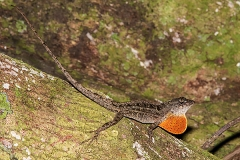 Brown Anole 037