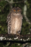 Brown Fish Owl 007