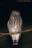 Brown Hawk Owl 002