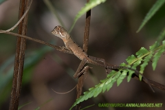 Brown-patched Kangaroo lizard 001