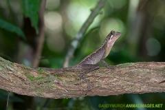 Brown-patched Kangaroo lizard 006