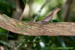 Brown-patched Kangaroo lizard 007