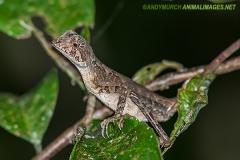 Brown-patched Kangaroo lizard 008