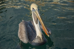 Brown Pelican 007