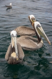 Brown Pelican 067
