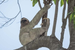 Brown-throated Three-toed Sloth 001