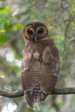 Brown Wood Owl 003