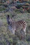 Burchell's Zebra 004