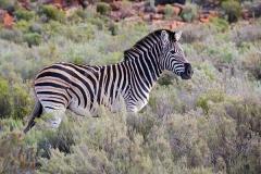 Burchell's Zebra 005