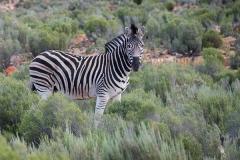 Burchell's Zebra 016