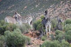 Burchell's Zebra 019