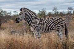 Burchell's Zebra 021