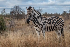 Burchell's Zebra 022