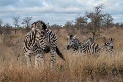 Burchell's Zebra 024