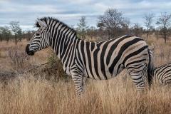 Burchell's Zebra 030