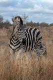 Burchell's Zebra 032