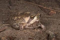 Bushveld Rain Frog 001