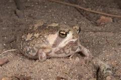 Bushveld Rain Frog 002