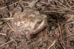 Bushveld Rain Frog 004