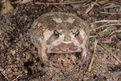 Bushveld Rain Frog 006