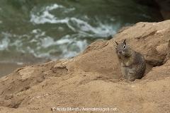 California Ground Squirrel 001