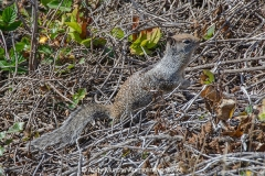 California Ground Squirrel 002
