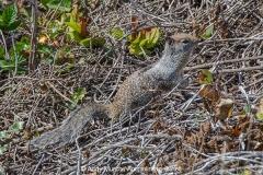 California Ground Squirrel 002