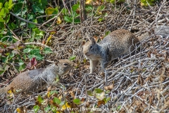 California Ground Squirrel 006