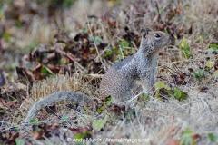 California Ground Squirrel 011