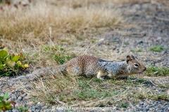 California Ground Squirrel 014
