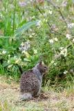 California Ground Squirrel 016