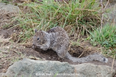 California Ground Squirrel 022