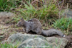 California Ground Squirrel 026