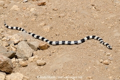 California King Snake 004