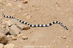 California King Snake 004