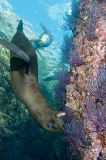 California Sea Lion 181
