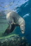 California Sea Lion 224