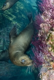 California Sea Lion 244