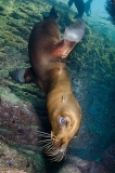 California Sea Lion 297