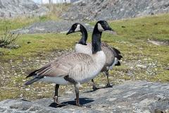 Canada Goose 004