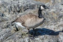 Canada Goose 007