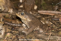 Cane Toad 006
