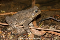 Cane Toad 007