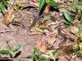 Checkered Keelback Snake