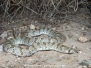 Chihuahuan Hooknose Snake