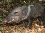 Boars, Hogs and Peccaries