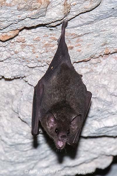 Commissaris Long-tongued Bat 012