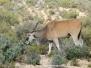 Antelopes, buffalo and kin.
