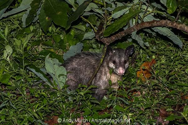 Common Opossum 005